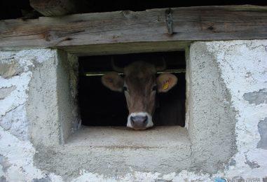 Le mucche sono pericolose?